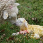 New born lambs, new born ideas