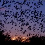 Bats Fight Japan
