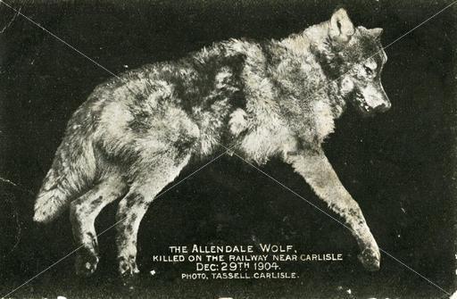 Wolf english
