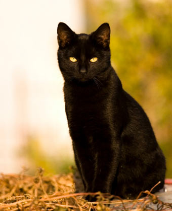 solid black cat