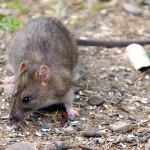 Medieval and Ancient Rats