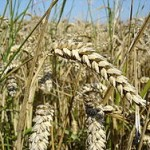 Gluten, Famine and the Slow Crawl of Medical Knowledge