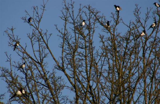 magpies plural