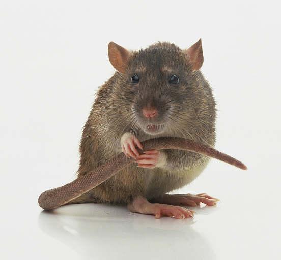 nasty rats