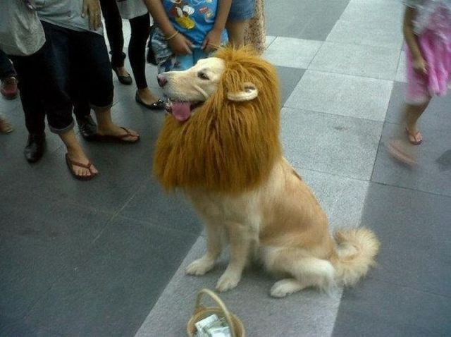 dog as lion