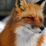 Dreaming Murder in Parliament #9: Mr Fox Speaks (or Lies)!