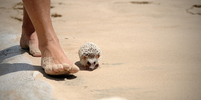 hedgehog beachcombed