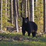 Did a Minnesota Bear Almost Cause World War III?