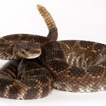 The Greater Irish Rattlesnake?