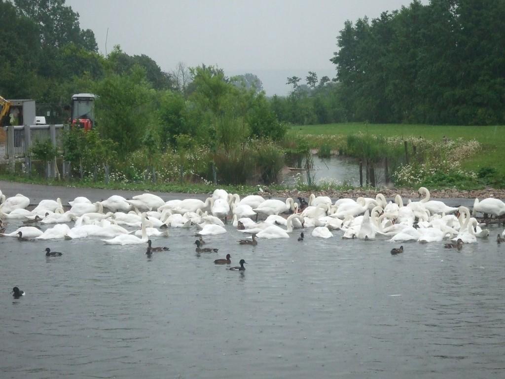 Swan gathering