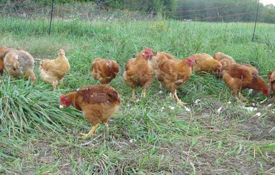 freedom chicken