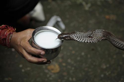snake drinks milk