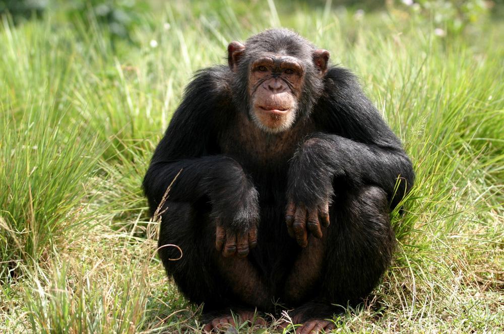 chimp that gave us hiv