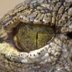 Victorian Urban Legends: Thames Crocodiles