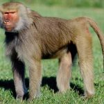The Kentish Baboon