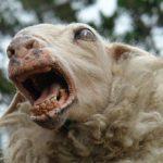 Three Sheep Killers: 1904-1905
