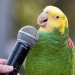 Braham's Parrot